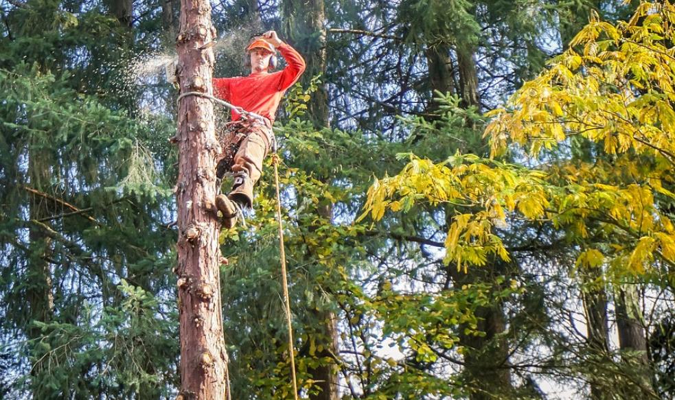 tall tree being cut