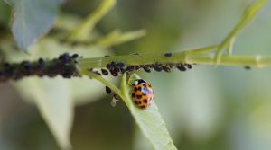 ladybug organically controls aphids